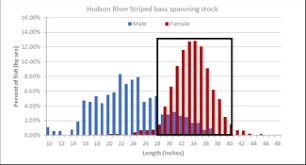 Dec Official Explains The Slot Rule For Striped Bass