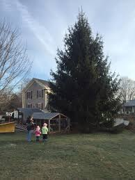 Leisure Lighting Danvers Ma Enormous Christmas Tree Cut Down In Danvers Danvers Ma Patch