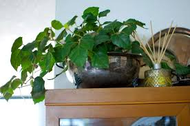 grape ivy, a popular low-maintenance indoor plant in India