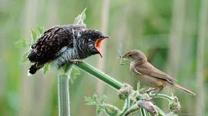 A parasite is an organism that has sustained contact with another organism to the detriment of the host organism. The Common Cuckoo Is A Brood Parasite Meaning That They Lay Their Eggs In The Nest Of Other Birds Which Then Raise The Chicks For Them When The Cuckoo Egg Hatches It