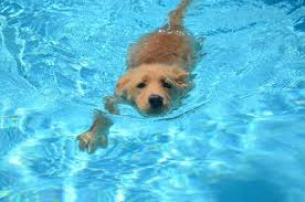 golden retriever puppies swimming. Brilliant Retriever Absolutely Adorable Golden Retriever Puppy Swimming In A Pool Stock Photo   62018390 With Golden Retriever Puppies Swimming R