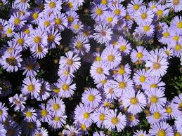 Aster amellus - Wikipedia