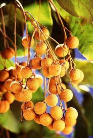 Online Shop 2pcs Apricot Succulent Fruit Trees Seed Small Seed Small Orange Fruit On Tree