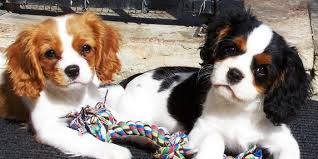 gillcrest cavalier king charles spaniels puppies