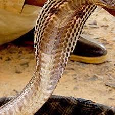 cobra snake wallpaper hd. Unique Cobra Cobra Snake Wallpaper  HD Wallpapers Of Snakes Inside Hd E