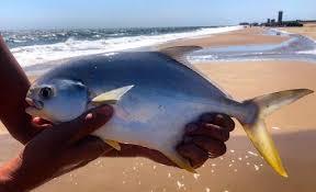 Pompano Are Big This Summer Delaware Surf Fishing Com