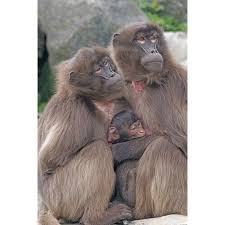 Laminated Poster Dschelada Social Mother Primates Ape Baby Monkey Poster Print 11 X 17