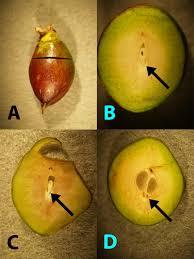 Evaluating Tree Fruit Bud Fruit Damage From Cold 7 426