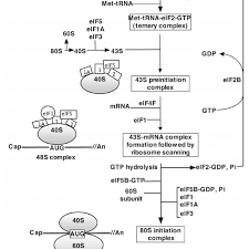 Schematic Diagram Of Translation Initiation In Eukaryotes