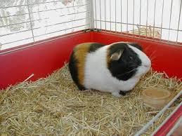 guinea pig bedding hubpages