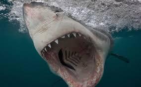 shark. Brilliant Shark Shark For Shark M