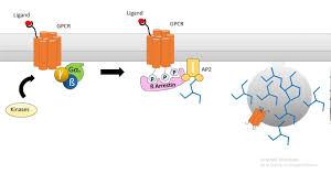 Gpcr Signaling Regulation Of G Protein Signaling By Beta Arrestin