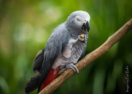 wild bird pictures. Wonderful Wild Africangreyparrot For Wild Bird Pictures T