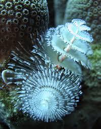 Portfolio5  Christmas Tree Underwater And OceanChristmas Tree Worm Facts