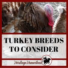 11 11 Turkey Breeds You Need To Know About If You Plan To