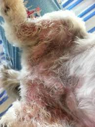 Dog skin rash on groin, paws, back legs and belly