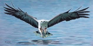 white bellied sea eagle painting stevie bird paintings