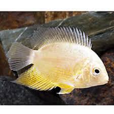 petsmart black goldfish. Beautiful Petsmart Gold Severum Cichlid In Petsmart Black Goldfish L