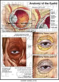 Eyelid Anatomy Anatomy Of The Eyelid Medical Illustration Medivisuals