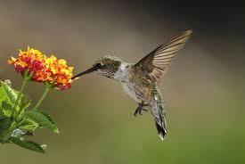 hummingbirds and flowers drawing. Unique Hummingbirds Image Hummingbird Feeding At A Lantana Flower In Hummingbirds And Flowers Drawing S