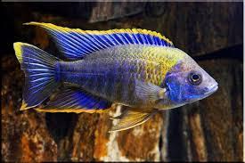 Red Top Lwanda Peacock   Live Fish Direct