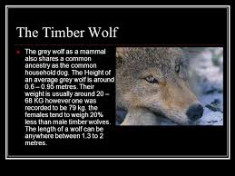 the timber wolf the grey wolf as a mammal also shares a mon ancestry as the