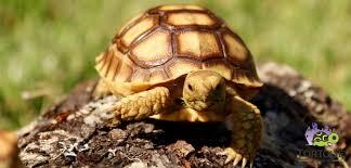Organized African Sulcata Tortoise Growth Chart 2019