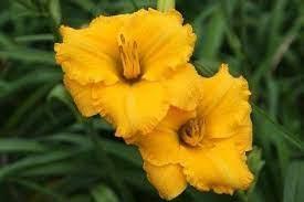 Daylily (Hemerocallis 'Goldie Fritz') in the Daylilies Database - Garden.org
