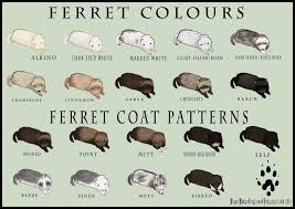 Ferret Color Chart Ferret Colour And Coat Pattern Chart By Weaselwomancreations