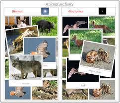Animal Activity Chart Animal Activity Nocturnal Or Diurnal Camping Animal