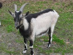 Dairy Goat Breeds Goat Breeds Goats
