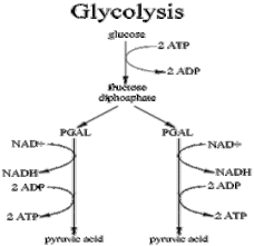 kaitlynandjustine   homeglycolysis gif