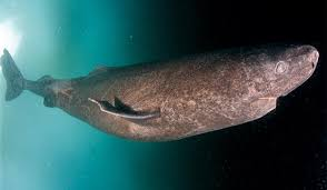 the dangerous secrets of the greenland shark 5 greenland shark