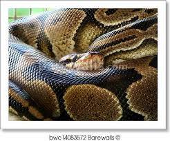 Python Pattern Enchanting Art Print Of Ball Python Snake Skin Texture And Pattern Barewalls