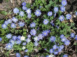 ground covers help to keep the weeds down and also serve as a living mulch shading the soil from the drying sun windflower makes a very pretty short cover