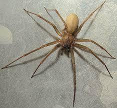 Brown Recluse Spider Brown Recluse Spider Creepy Crawly Things