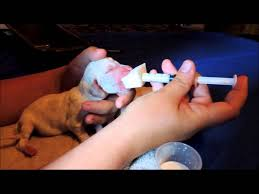 Bottle Feeding Puppy Chart How To Bottle Feed Puppies A Step By Step Guide