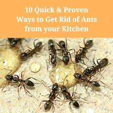 tiny black ants in kitchen ants in kitchen home remes and natural ways to get rid