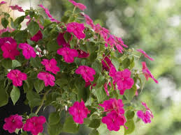 bedding plant impatiens