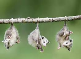 Top Ten Possum Facts And How To Control Them Pest Wiki