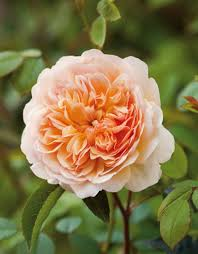 Most Fragrant English RosesFragrant Rose Plants