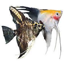 petsmart black goldfish. Perfect Petsmart Angelfish To Petsmart Black Goldfish E