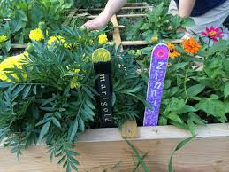 we ll know the marigolds and zinnias by their flowers and plant markers