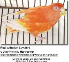 Peachfaced Lovebird Aka Rosy Faced Lovebird Breeding