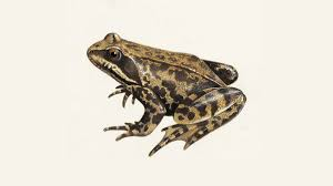 Common Frog What Do Frogs Eat Other Frog Facts The Rspb