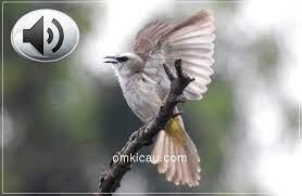 Download suara trucukan ropel durasi panjang yang cocok digunakan untuk pancingan burung trucukan lain agar lebih rajin berkicau. Empat Audio Variasi Trucukan Ropel Untuk Masteran Om Kicau
