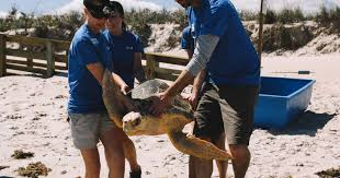 loggerheads released to canaveral national seashore after 2 loggerheads released to canaveral national seashore after rehabilitation video