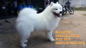 Samoyed Dog Breed Information 2021 ...