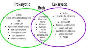 Compare Prokaryotic And Eukaryotic Cells Venn Diagram Eukaryotic Cells Vs Prokaryotic Cells Venn Diagram Mwb