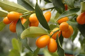 Nagami Kumquat At Backyard Fruit  Citrus Trees  Pinterest Kumquat Tree Not Bearing Fruit